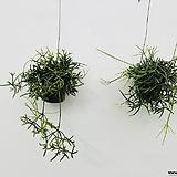 립살리스테리스 립살리스 행잉식물 행잉플랜트 공중식물 틸란 틸란드시아 Tillandsia