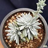 화이트그리니 3두|Dudleya White gnoma(White greenii / White sprite)