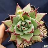 피멍에보니|Echeveria agavoides ebony(blood type)