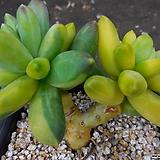 천대전송금0119-085|Pachyphytum compactum