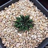 파크시아나 자구(Hawothia parksiana, offset) 