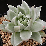 세인트루이스금 (백금) 중묘 (Echeveria Saint Louis white variegated) Echeveria Saint Louis