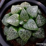 그린팬텀 자구 (Haworthia comptoniana cv. Green Phantom, offset) 