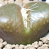 Conophytum ophthalmophyllum옵탈모필름 