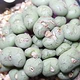 Conphytum uviforme ssp 유비포르미 (50이상한몸) 