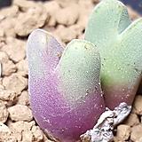특가-Conphytum  ssp 
