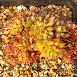 깨알사치철화00|Echeveria agavoides f.cristata Echeveria