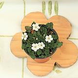 하양풍로초(수시로꽃)