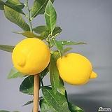 오리지널 노란 레몬나무/유실수/과실수