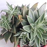 긴잎적성 [군생한몸 ] Echeveria agavoides Akaihosi