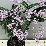 연보라싸리나무 (여름 끝무렵까지 계속해서 꽃을 보실 수 있습니다)|