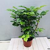 녹보수 (대박나무)|happy tree