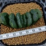 옥선 (Haworthia truncata ) Haworthia truncata