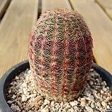 자태양 Echinocereus rigidissimus Purpleus