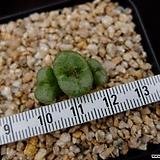 irmae(대형종) (Conophytum irmae Rietkloof, 3Heads) 