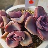 집시|Graptoveria Mrs Richards