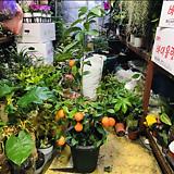레몬나무(열매류 레몬주렁주렁 비타민나무 