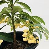 백냥금 공기정화식물 추위에 강한 식물 흰색 만냥금|