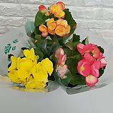 ♥꽃 베고니아(3색세트)♥