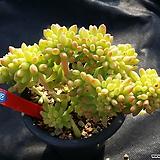 팔천대철화|Sedum corynephyllum