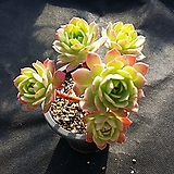 그린로즈|Sedeveria Green Rose