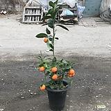 레몬나무(직영농장 비타민풍풍 과일열매류)키약100 