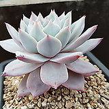 파랑새(467)|Echeveria blue bird
