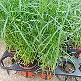 시피루스방동사니-공기정화,수경식물 