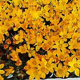 크로커스(노란색).샤프란4개.월동가능. 수경가능.좋은향..|