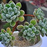 금사황(Z196)|Echeveria setosa Hybrid