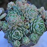 라즈베리아이스(A001)|Echeveria Rasberry Ice