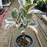 수채화고무나무이쁜외목1 Ficus elastica