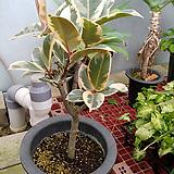 수채화고무나무이쁜외목2 Ficus elastica