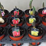 듈립 4개.분홍.빨강.노랑.복카시.좋은향.월동가능. 수경가능.너무예뻐요.구근안에 꽃대있어요.|