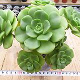 묵은 릴리패드(군생목대)-39|Aeonium LilyPad