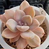석연화금|Pachyveria Pachyphytodies