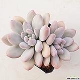 후레뉴59|Pachyphtum cv Frevel