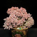 묵은 가을의서리철화(1.21) Echeveria cv. AKINOSHIMO