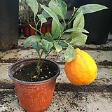 오렌지레몬나무 꽃몽우리가득|