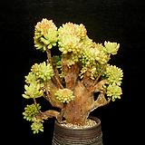 大-묵은 팔천대철화(1.21) Sedum corynephyllum