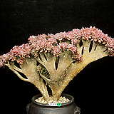 大-홍일산철화(1.21) Echeveria bicolor