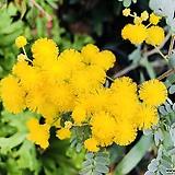 노랑자귀(꽃향기가 좋은 사랑스런 나무입니다)|
