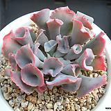 트럼펫핑키 J01-931 Echeveria cv Pinky