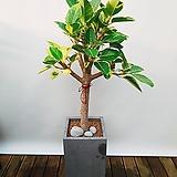 뱅갈고무나무 (시멘크사각완성분) 대품 大 그레이 개업선물 축하화분 인테리어식물 공기정화식물|Ficus elastica