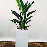 극락조 (여인초) 시멘트사각완성분 대품 大 흰색 인테리어식물 공기정화식물|