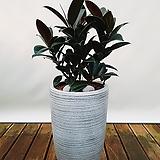 멜란고무나무 (일반도자기완성분) 신혼집인테리어 공기정화식물|Ficus elastica
