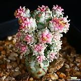 구갑기린 2|Euphorbia submamillaris