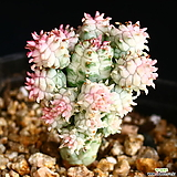구갑기린 3|Euphorbia submamillaris