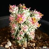 구갑기린 5|Euphorbia submamillaris
