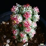 구갑기린 6|Euphorbia submamillaris